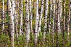 Foresta della betulla Fotografie Stock Libere da Diritti