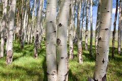 Foresta della betulla Immagini Stock