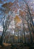 Foresta della betulla in autunno immagini stock
