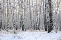 Foresta della betulla con i rami coperti della neve immagine stock
