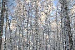 Foresta della betulla con i rami coperti della neve fotografia stock