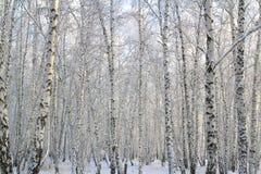 Foresta della betulla con i rami coperti della neve immagine stock libera da diritti