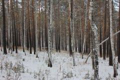 Foresta della betulla con il pino Immagini Stock
