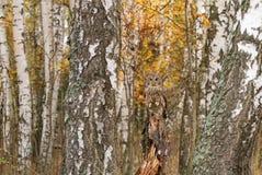 Foresta della betulla con l'allocco Fotografia Stock Libera da Diritti