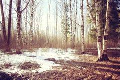 Foresta della betulla del paesaggio di marzo Immagini Stock