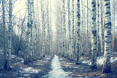 Foresta della betulla del paesaggio di marzo Fotografia Stock Libera da Diritti