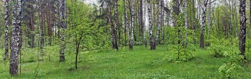 Foresta della betulla della sorgente Immagine Stock