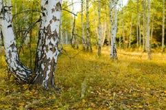 Foresta della betulla di autunno Immagini Stock