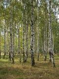 foresta della betulla di autunno Fotografia Stock Libera da Diritti
