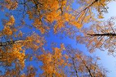 Foresta della betulla di autunno Immagini Stock Libere da Diritti