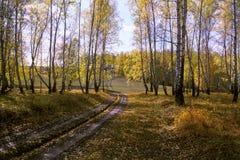 Foresta della betulla di autunno Fotografie Stock Libere da Diritti