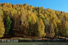 Foresta della betulla di autunno Immagine Stock