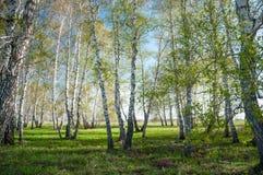 Foresta della betulla di estate Fotografia Stock Libera da Diritti