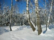 Foresta della betulla di inverno immagini stock libere da diritti