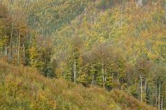 Foresta della betulla e del faggio in autunno Immagine Stock
