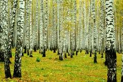 Foresta della betulla, Ekaterinburg, Russia Fotografia Stock