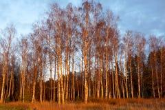 Foresta della betulla nei raggi del sole di autunno della regolazione Immagini Stock