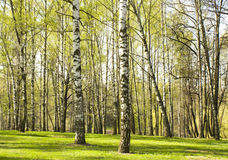Foresta della betulla in primavera Immagine Stock Libera da Diritti