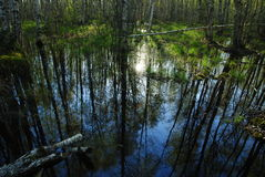 Foresta della betulla riflessa in alta marea di fonte di acqua Fotografia Stock