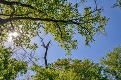 Foresta della betulla sui precedenti del cielo Alberi verdi sul fondo del cielo blu Fotografia Stock