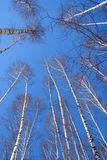 Foresta della betulla sul cielo blu Fotografia Stock Libera da Diritti