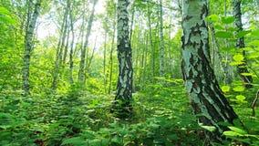 Foresta della betulla. timelapse. 4K. HD PIENO, 4096x2304. archivi video