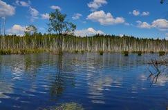 Foresta della betulla vicino alla palude Immagini Stock Libere da Diritti