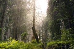 Foresta della conifera Fotografia Stock Libera da Diritti