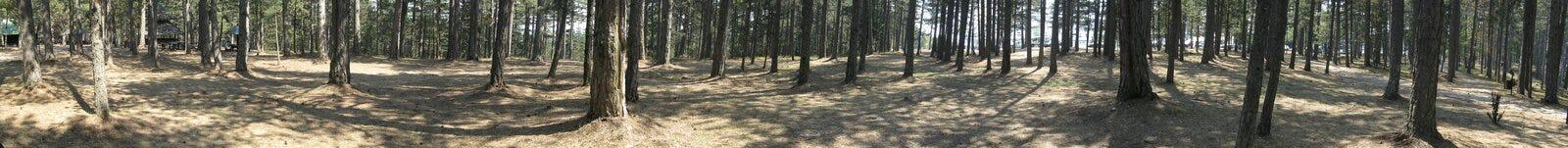 Foresta della conifera Fotografia Stock
