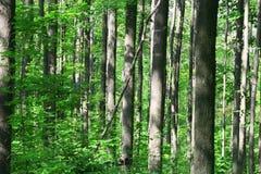 Foresta della gola Immagine Stock
