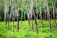 Foresta della hevea degli alberi di gomma alla Tailandia Immagini Stock