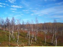Foresta della Lapponia immagini stock