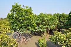 Foresta della mangrovia Immagine Stock