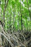 Foresta della mangrovia Immagini Stock Libere da Diritti