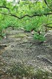 Foresta della mangrovia Fotografie Stock