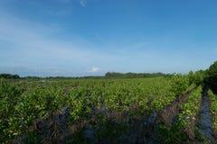 Foresta della mangrovia, Fotografia Stock Libera da Diritti