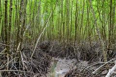 Foresta della mangrovia alla prerogativa di natura e ForestKlaeng a Prasae, Fotografia Stock