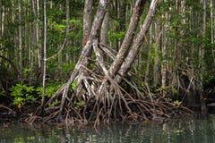 Foresta della mangrovia in Batanta, Raja Ampat, Indonesia Immagine Stock Libera da Diritti