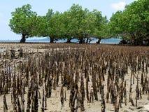 Foresta della mangrovia, Bohol Immagine Stock