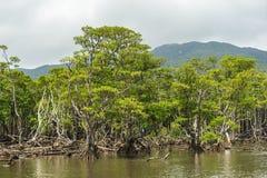Foresta della mangrovia del fiume di Nakama Fotografie Stock