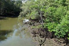 Foresta della mangrovia nella zona intercotidale Immagini Stock Libere da Diritti