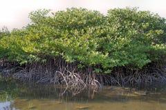 Foresta della mangrovia in Palawan Immagini Stock Libere da Diritti