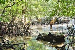 Foresta della mangrovia in Palawan Immagini Stock