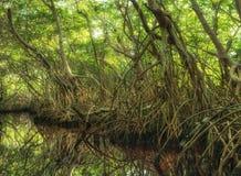 Foresta della mangrovia in Sian Kaan, riserva di biosfera, Quintana Roo, Messico immagine stock libera da diritti