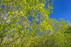 Foresta della mangrovia sull'isola di Curieuse, Seychelles Fotografia Stock Libera da Diritti