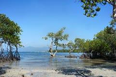 Foresta della mangrovia sulla costa Immagine Stock