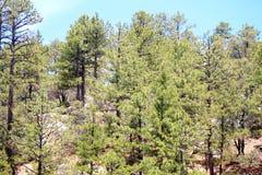 Foresta della montagna dell'Arizona Fotografie Stock Libere da Diritti