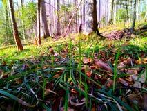 Foresta della montagna della primavera Immagine Stock