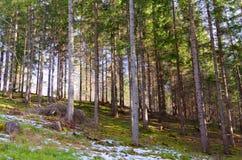 Foresta della montagna in primavera fotografie stock
