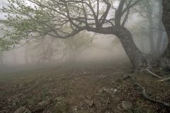 Foresta della nebbia Fotografie Stock Libere da Diritti
